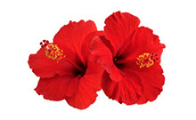 ingredient_Hibiscus-HibiscusSabdariffa-FlowerExtract