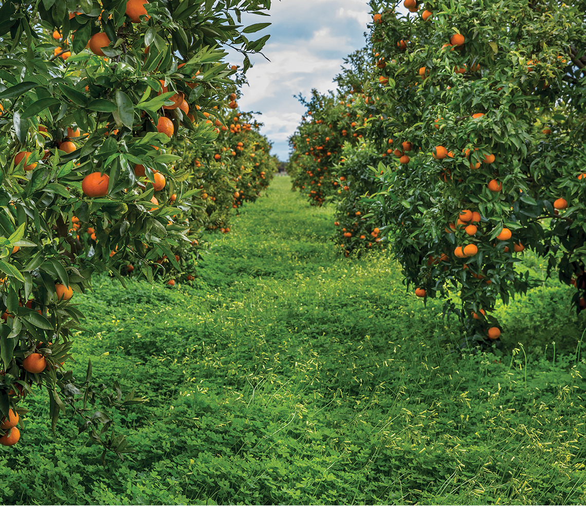 Oranges-field-trees