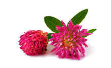 botanical_RedClover