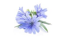 botanical_Chicory