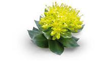 botanical_Rhodiola