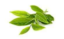 ActiveIngredient-GreenTea