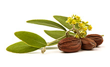 botanical_JojobaSeedOil