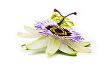 botanical_Passion_Flower