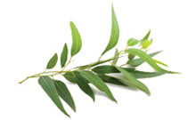 botanical_Eucalyptus_Oil