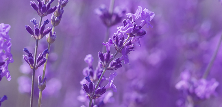 ARB_CollectionPage_EssentialOils_BG-Lavender-mobile