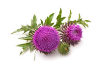 ActiveIngredient-MilkThistle