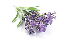 botanical_Lavender_Flower_Oil