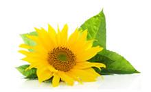 botanical_SunflowerSeedOil