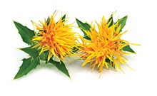 botanical_Safflower
