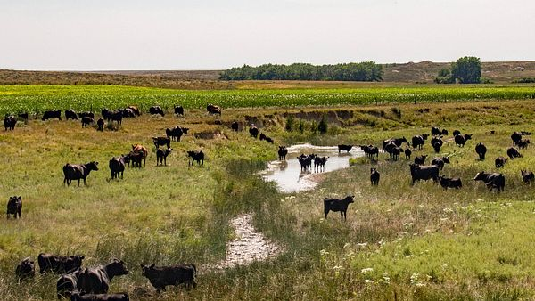 AdobeStock_131400249_Cattle-Landscape
