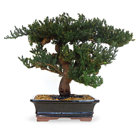 Preserved Treescapes International Bonsai Juniper