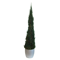 Preserved Treescapes International Conical Juniper