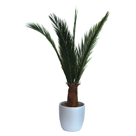 Preserved Treescapes International Island Date Palm Tree