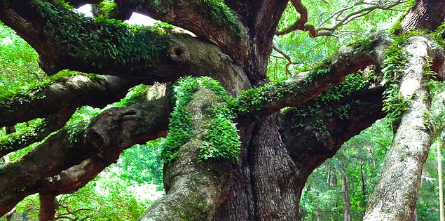 Oldest living thing east of Mississippi Angel Oak