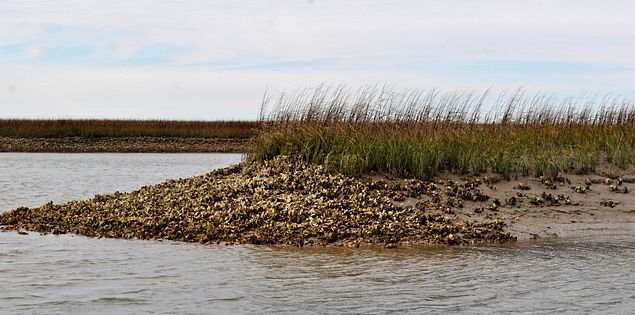 oyster reef Spartina grasses
