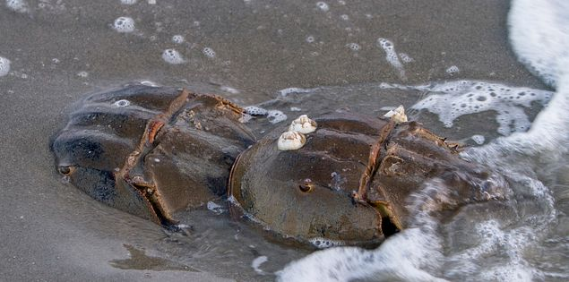 horseshoe crab sandbar