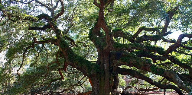 Angel Oak tree Johns Island