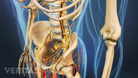 The cauda equina communicates sensory and motor nerve messages between the central nervous system, pelvis, and lower limbs.