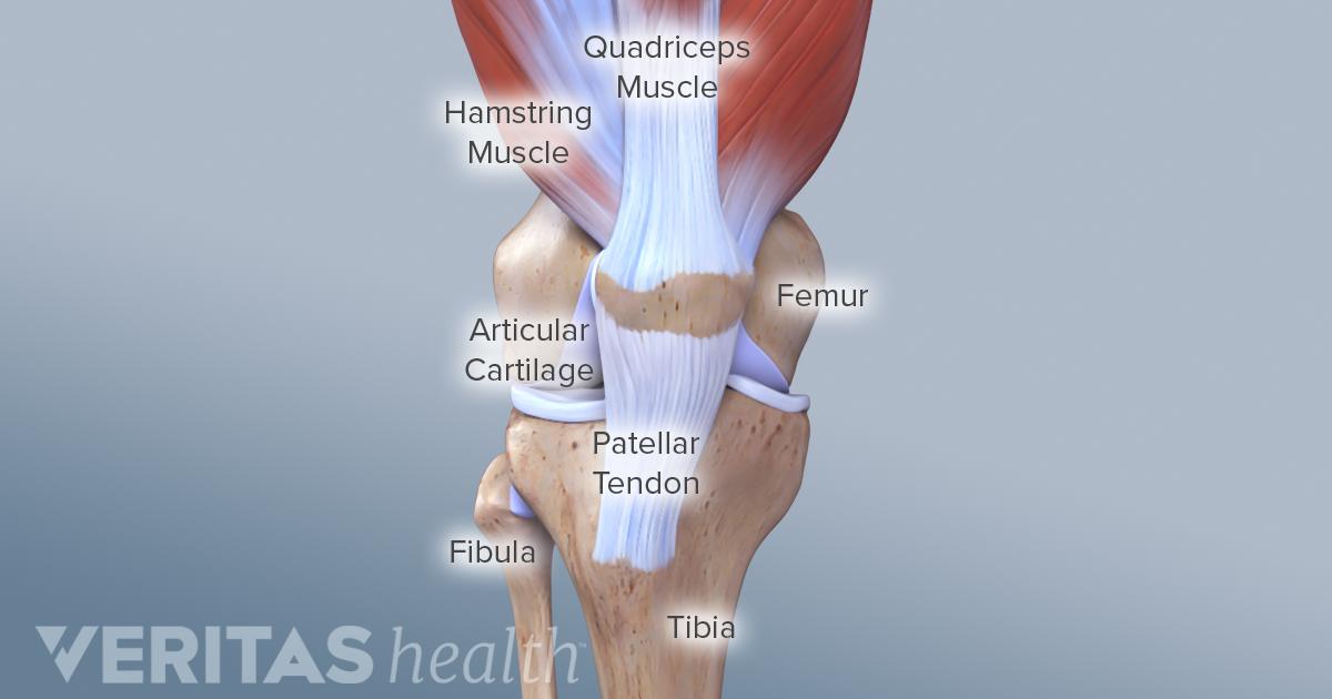 Knee tendons anatomy