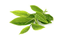ingredient_GreenTea-CamelliaSinensis-LeafExtract
