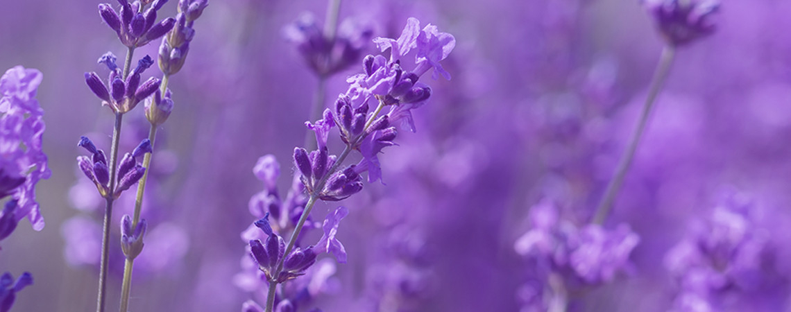 ARB_CollectionPage_EssentialOils_BG-Lavender