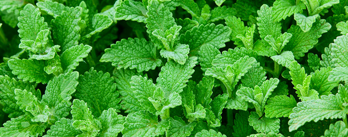 ARB_CollectionPage_EssentialOils_BG-Peppermint