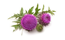 botanical_MilkThistle
