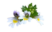 botanical-Eyebright