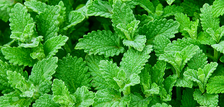 ARB_CollectionPage_EssentialOils_BG-Peppermint-mobile