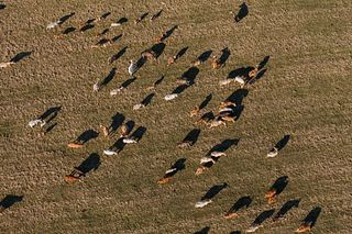 Birds Eye Cattle