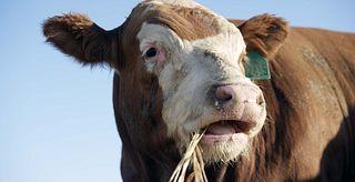 Steer eating