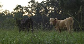 BQA - Cattle in Field