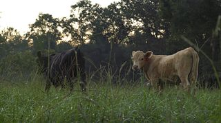 Bluff creek cattle