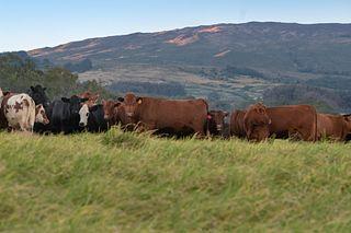 Haleakala Family Cattle Montana ESAP