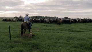 Barthle - shot from behind cowboy with cattle in front of him