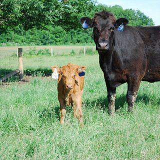 Sennett Cattle CO
