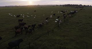 Cattle in open field