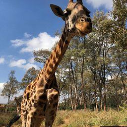 giraffe product