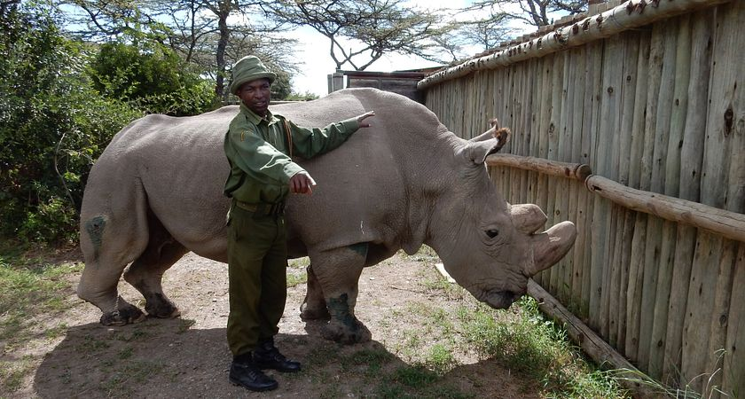 Last male rhino of this species and guard