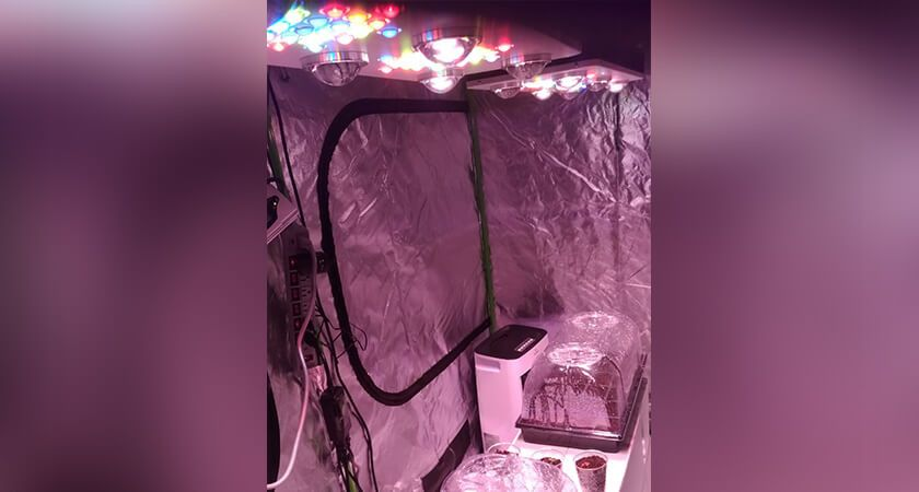 Picture of strawberries growing in the LED tent