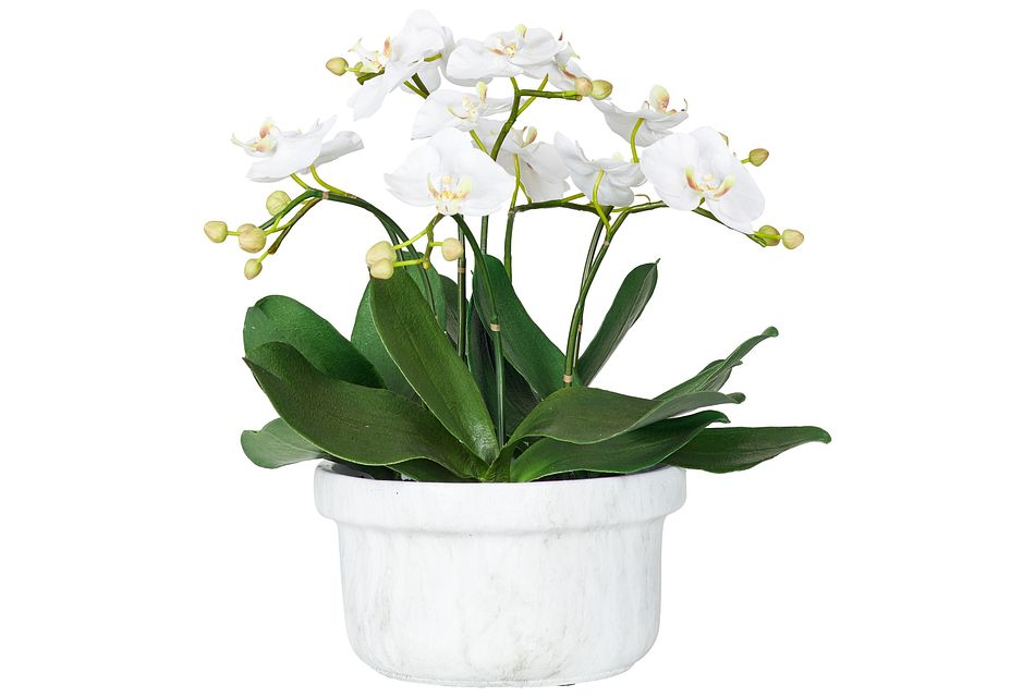 Phalaenopsis In Narrow Pot White Small Orchid
