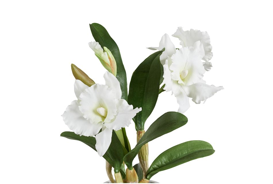 Cattleya White Orchid,  (2)
