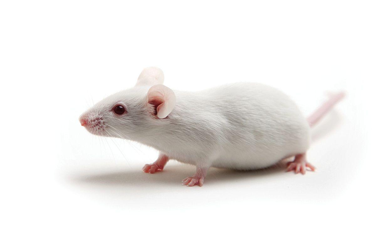immunodeficient mouse