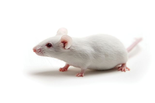 humanized mice are immunodeficient models used in studies for immuno-oncology and infectious disease research