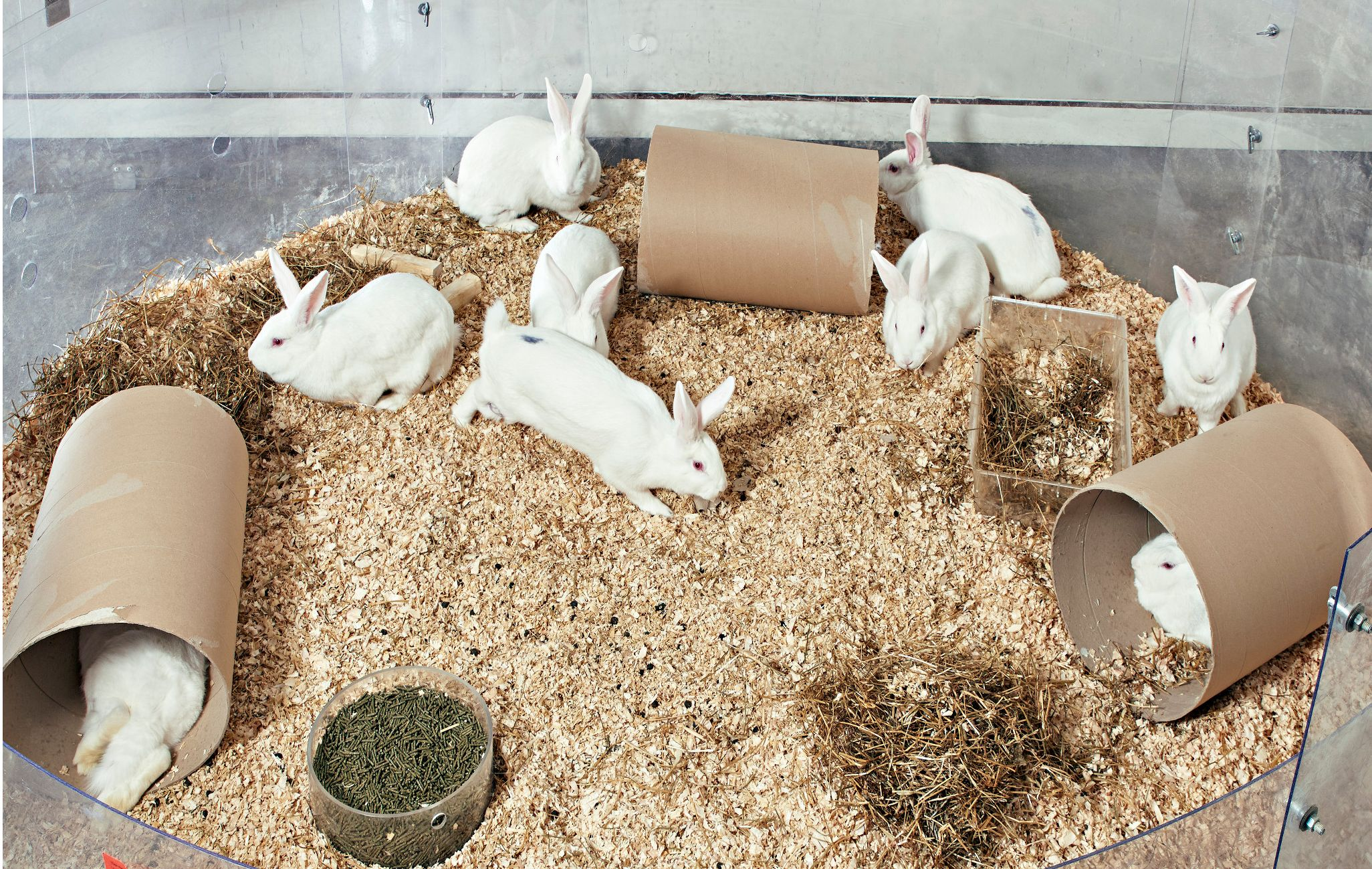 White rabbits in an enclosure