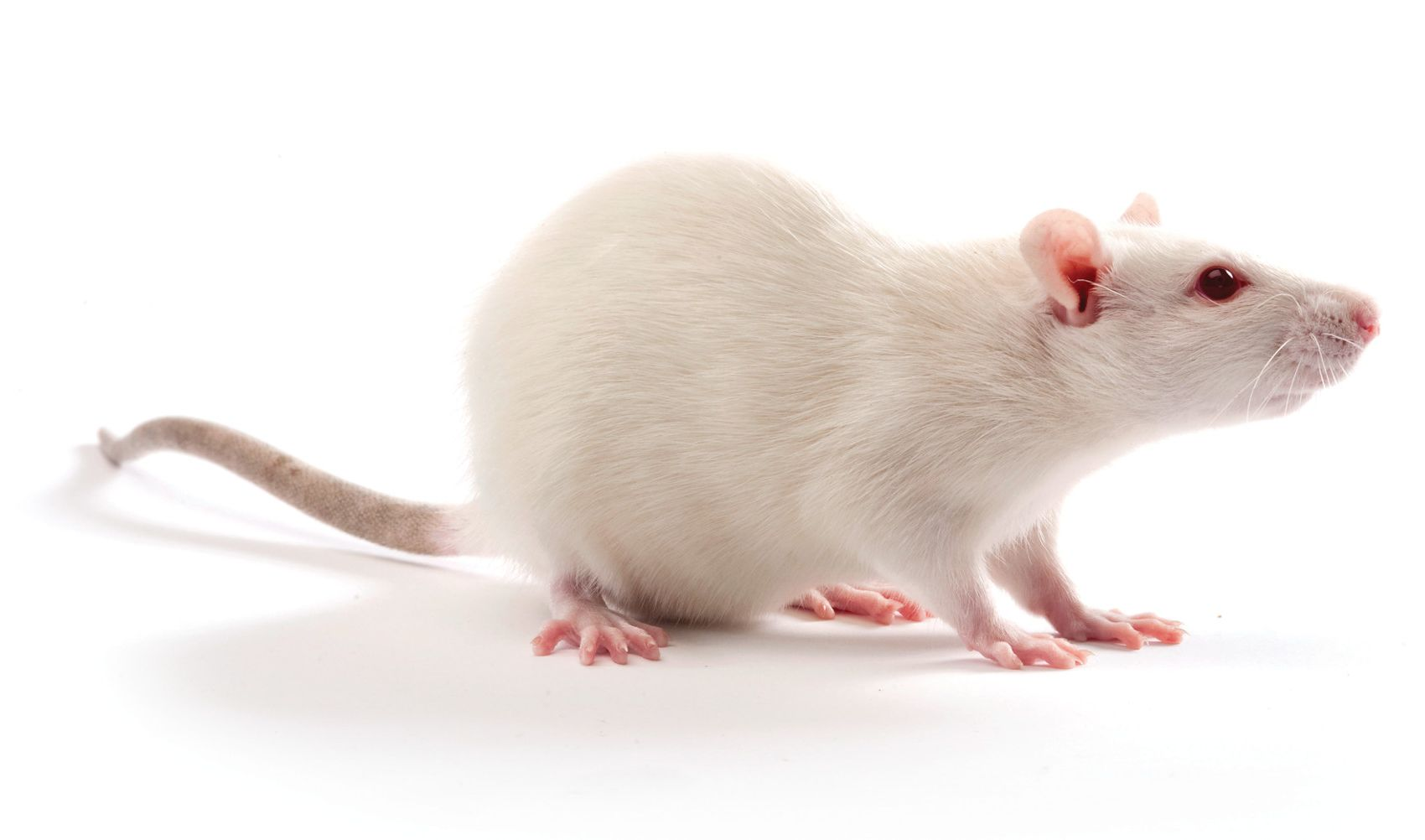 One white rat in front of a white background.