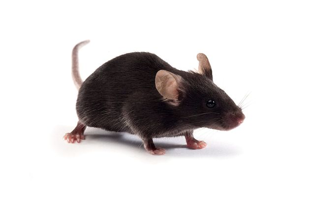 C57BL/6NCrl germ-free mouse for microbiome research