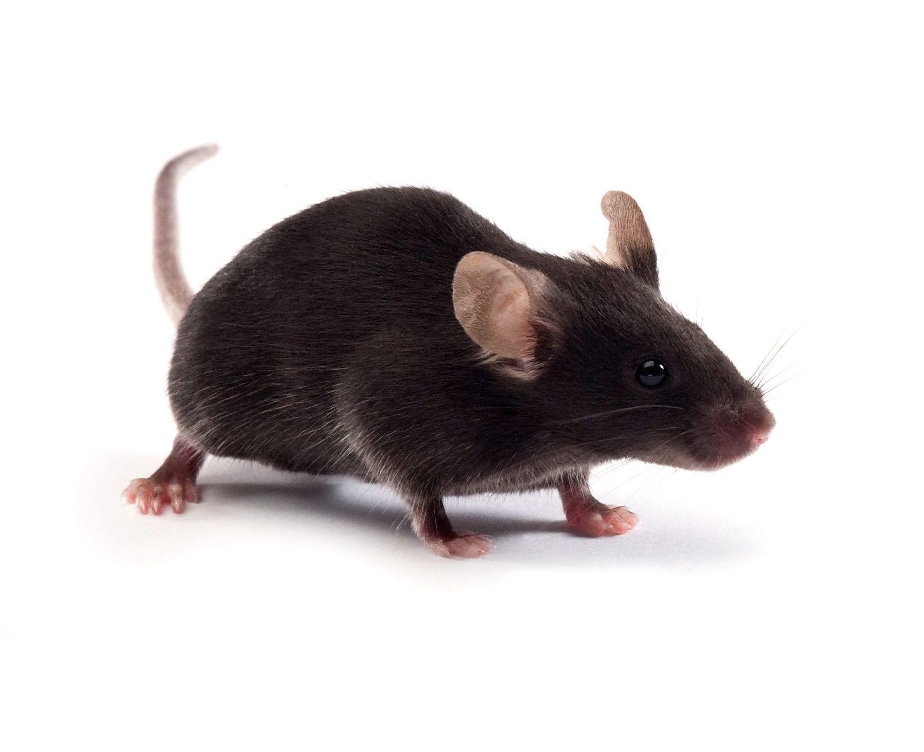 off-the-shelf transgenic mouse