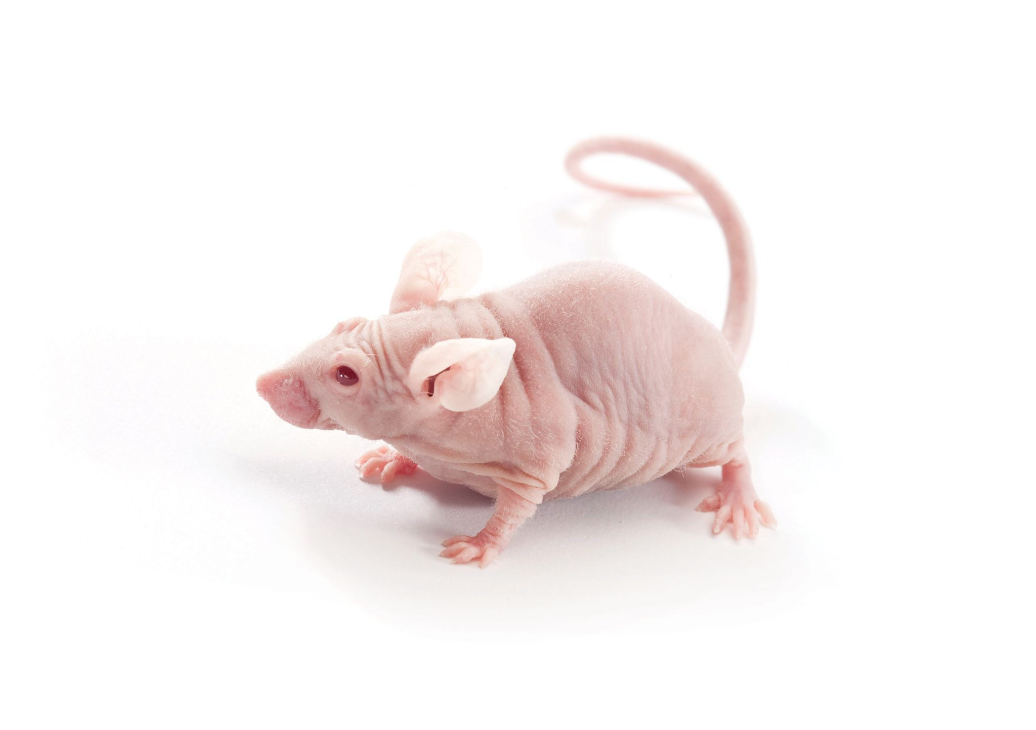 immunodeficient mouse